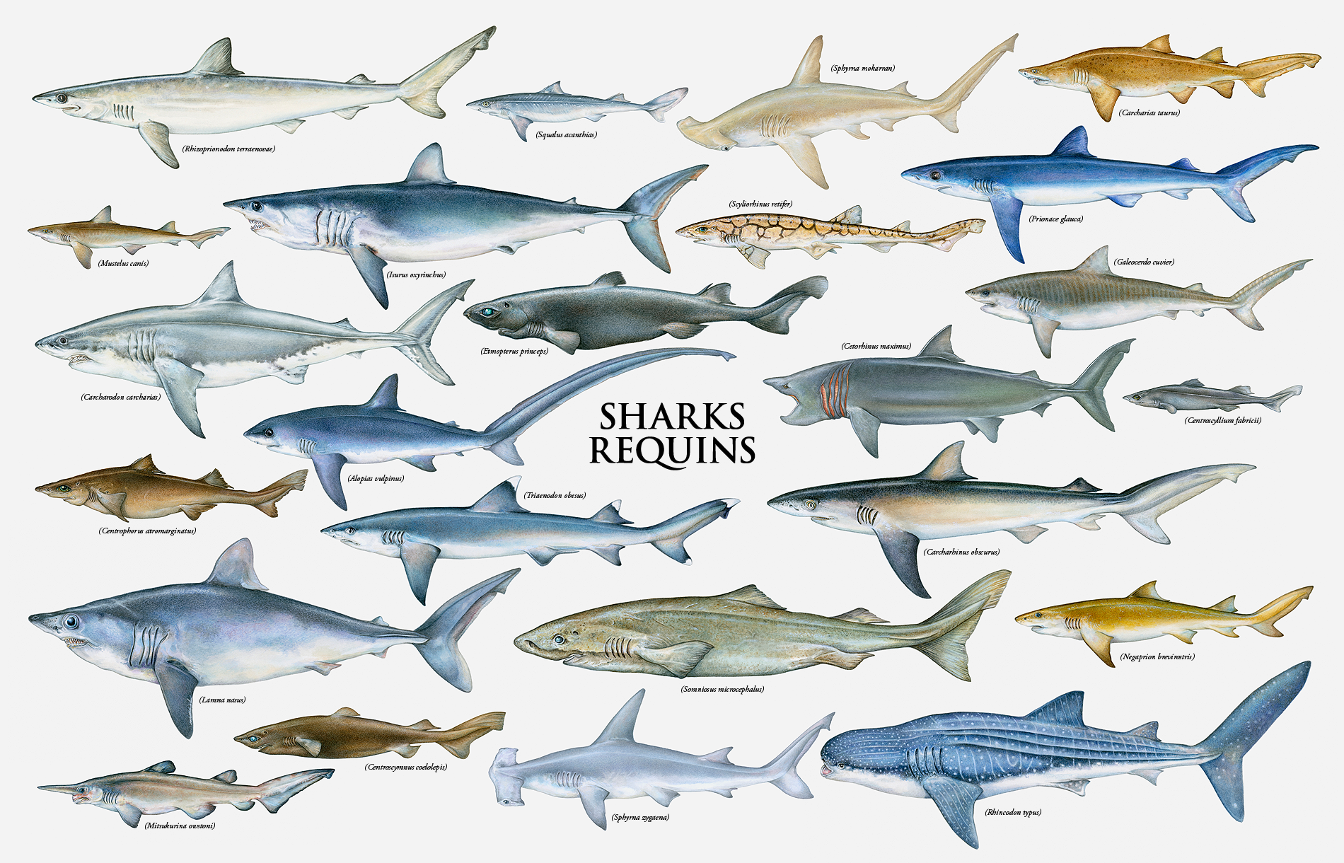 toolbar creator galleries related shark species chart shark species ... Shark Species Chart