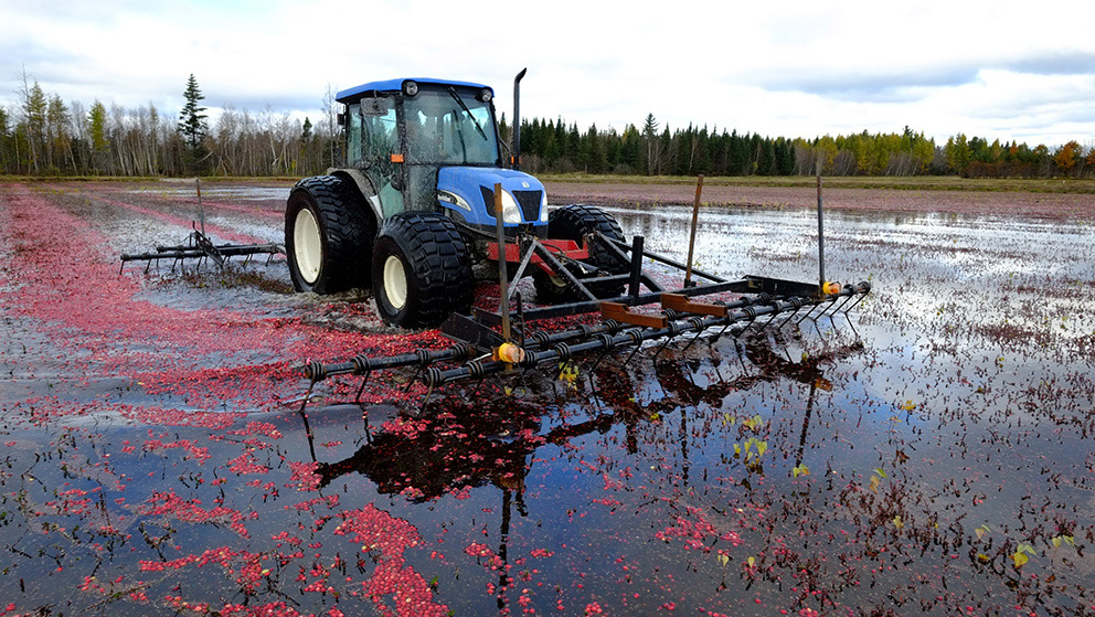 A tractor rakes through a drowned cranberry field as loose berries float to the water's surface.
