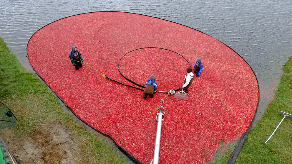 Seen from far above, four people (one with a rake) stand within a broad black boom that forms a loop to direct a mass of floating cranberries towards the field's edge.