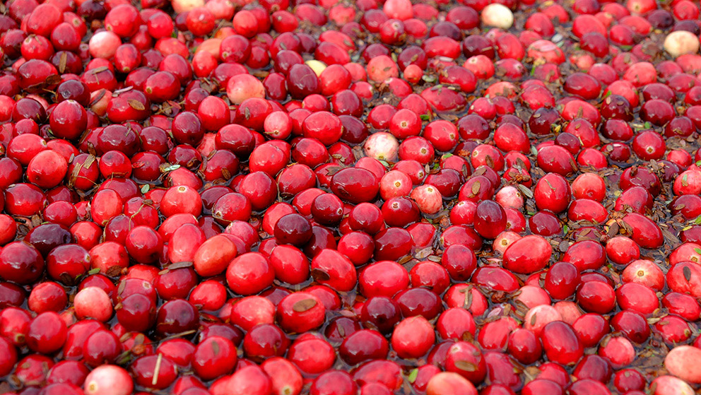 Close up of a bunch of red cranberries floating in water.
