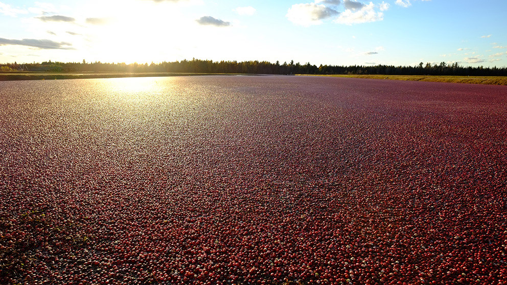 Bright red cranberries float on top of a flooded field that extends to the treeline. The sun, low in the sky, creates a circle of yellow light in the upper left and casts a golden glow over the surface of the floating red berries.