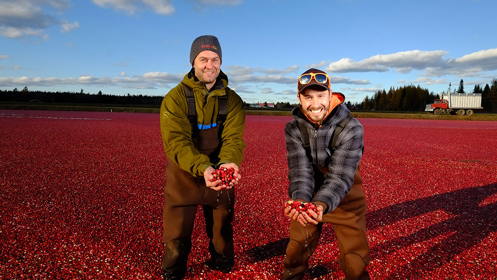 Two men in brown overalls bend to hold out handfuls of dripping berries as they stand in a drowned field of red cranberries.