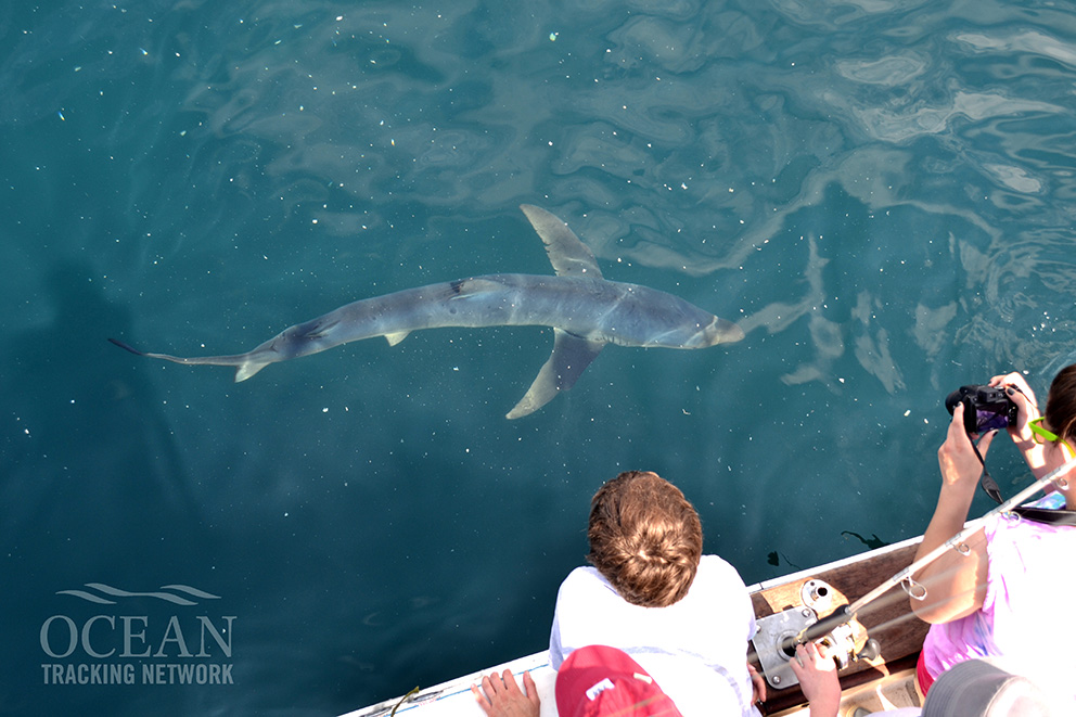 People lean over the side of a boat watching a blue shark swim through the water close by.