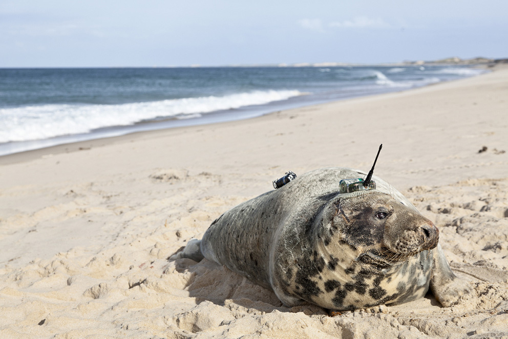 A seal lies on a beach wearing a tracking device with a short antenna on its head.