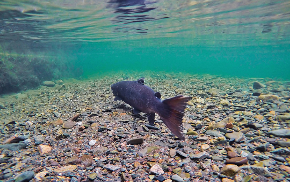 A salmon swims away through shallow water over a pebbly river bottom.