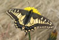 This Anise swallowtail (Papilio zelicaon) was