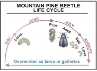 The life cycle of the mountain pine beetle.