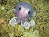 The benthic octopus Graneledone verrucosa off the