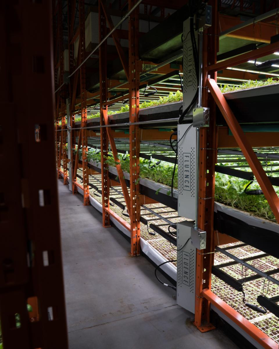 Rows of shelves with planted leafy greens