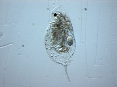 The water flea, Daphnia, is a key component of